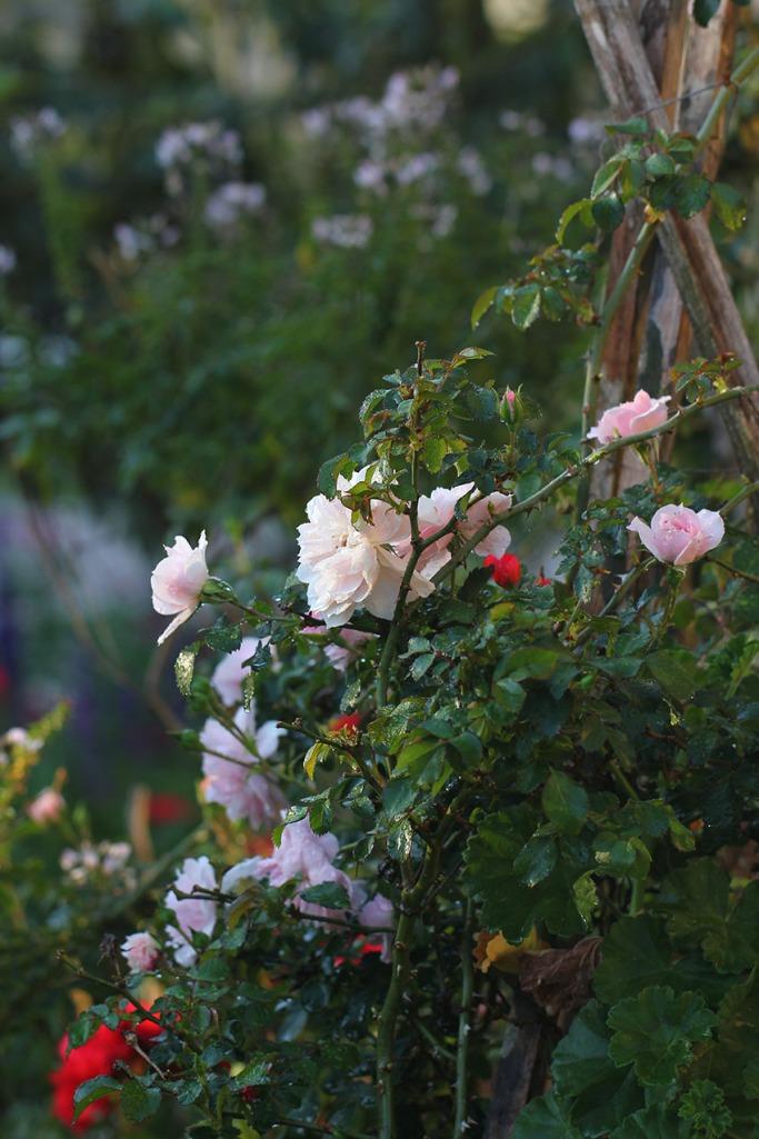 Climbing rose -Lilibet Stanley