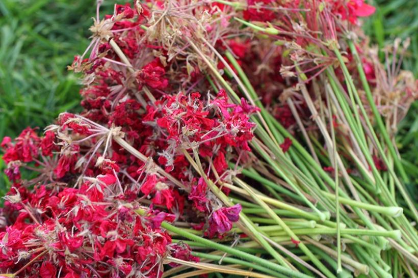 dead head geranium1-Lilibet Stanley