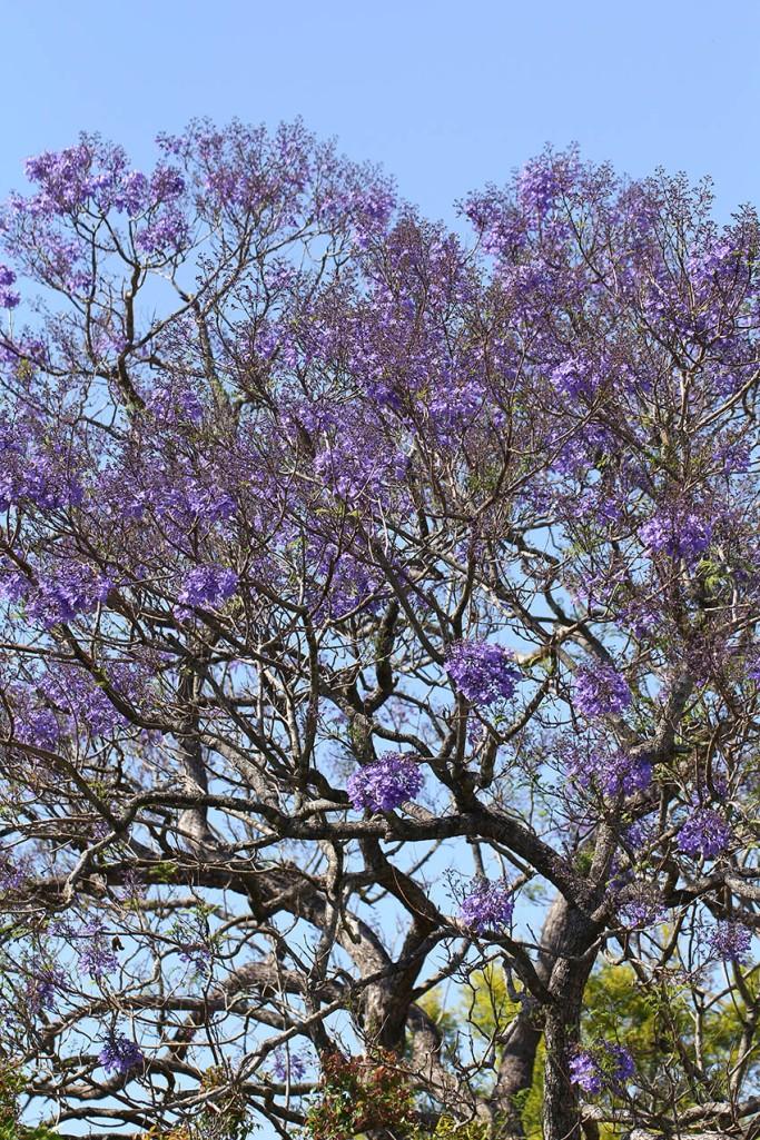 Jacaranda purple2 -Lilibet Stanley