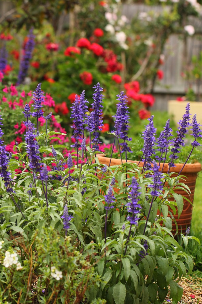 Purple Salvia and colour -Lilibet Stanley