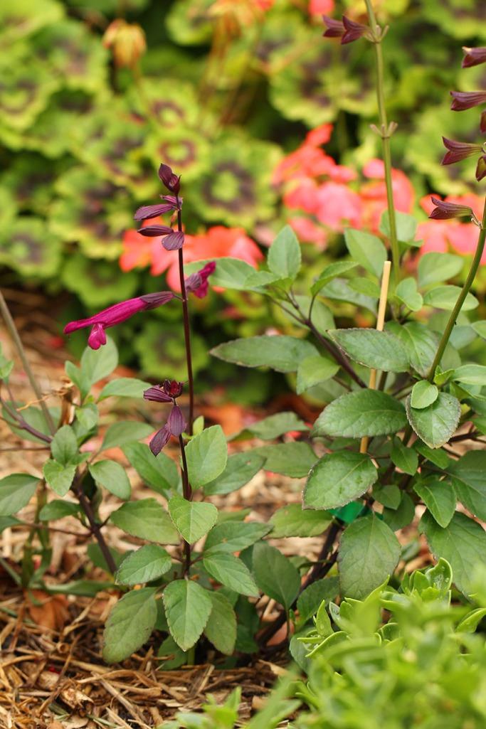 Salvia -Lilibet Stanley