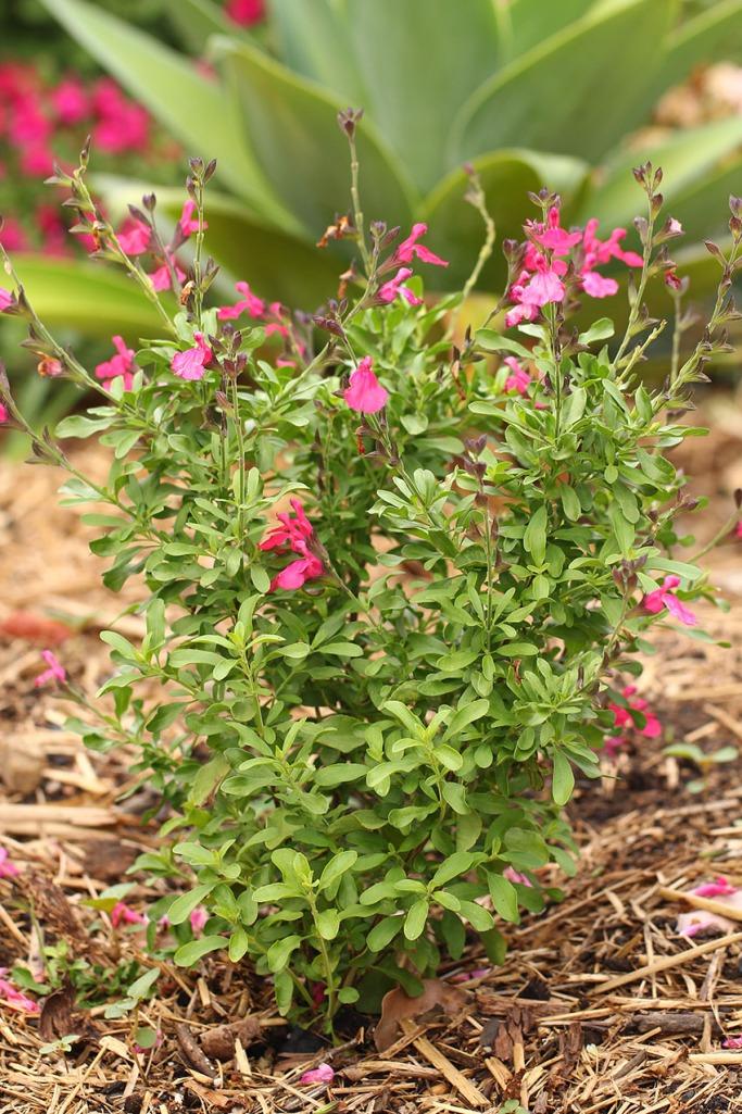 Salvia1 -Lilibet Stanley