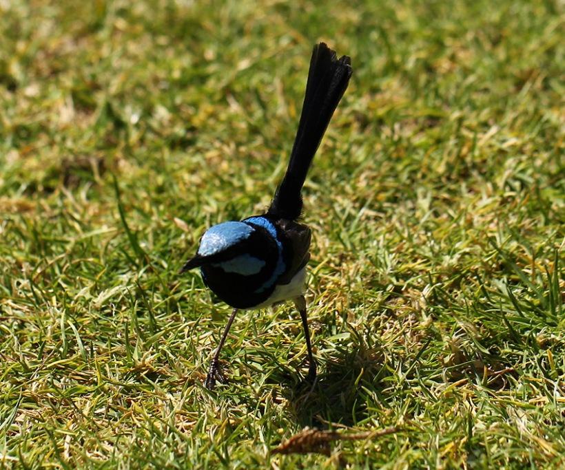 Blue Fairy Wren -Lilibet Stanley