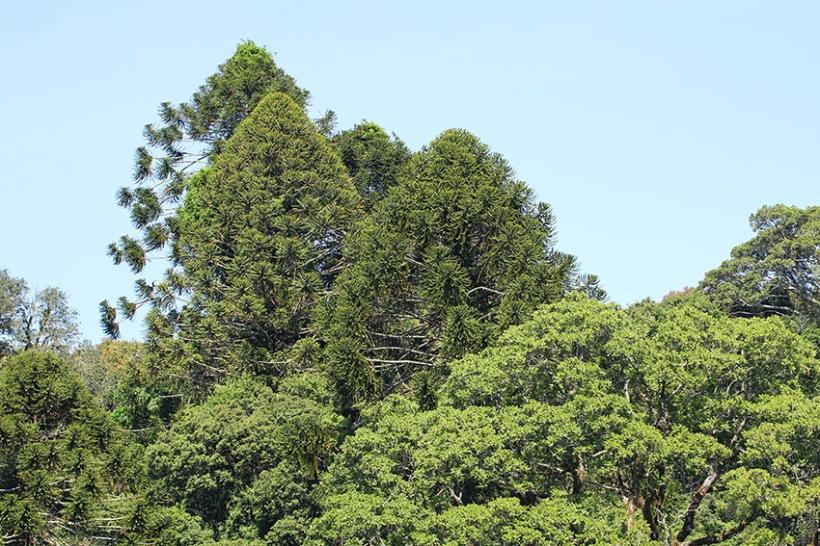 Bunya pine trees at Dandabah -Lilibet Stanley