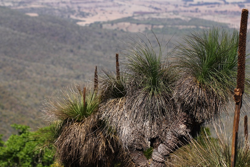 Grass trees at Mount Kiangarow -Lilibet Stanley