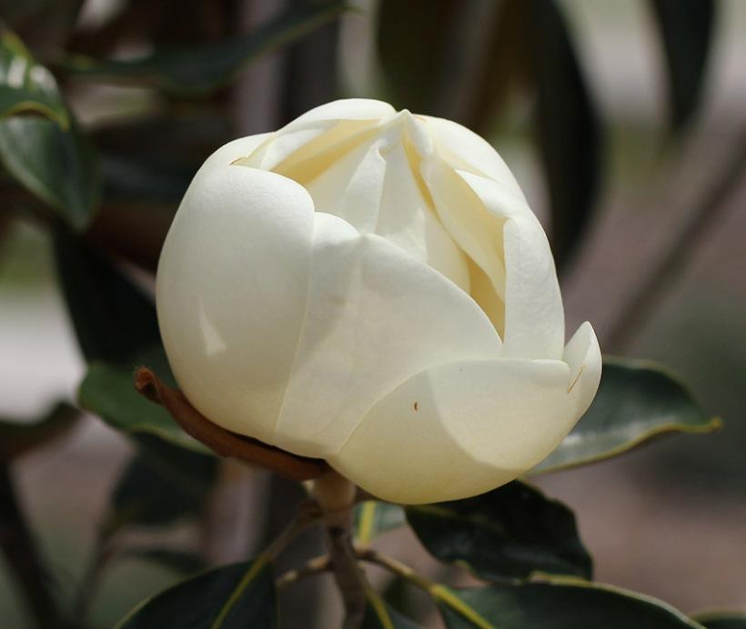 magnolia-Lilibet Stanley