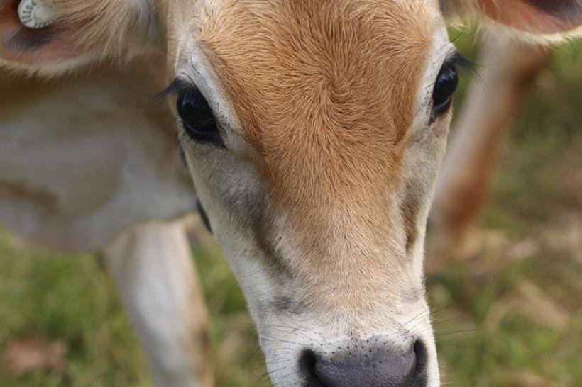 calf4-Lilibet Stanley