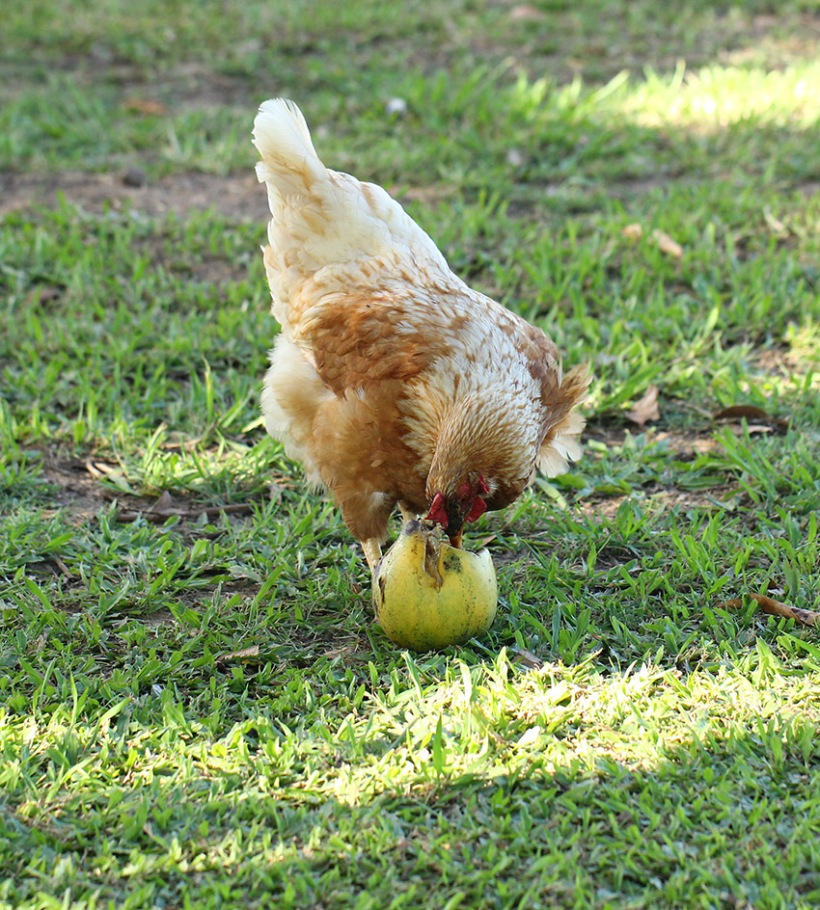 chicken eating mango-Lilibet Stanley