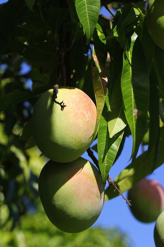 mango-LilibetStanley