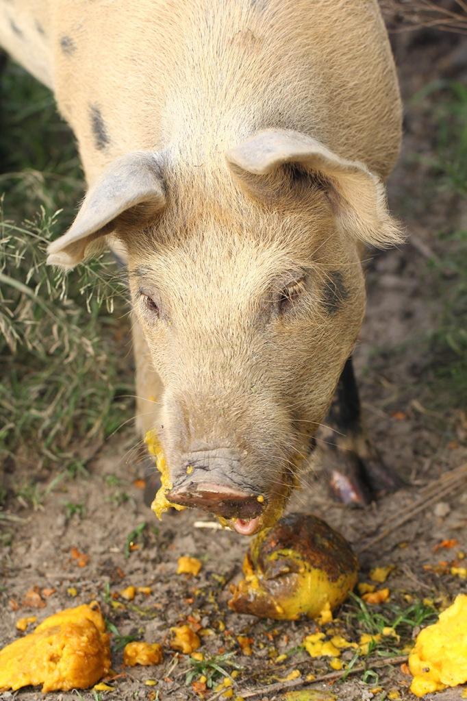 pig eating mango-Lilibet Stanley