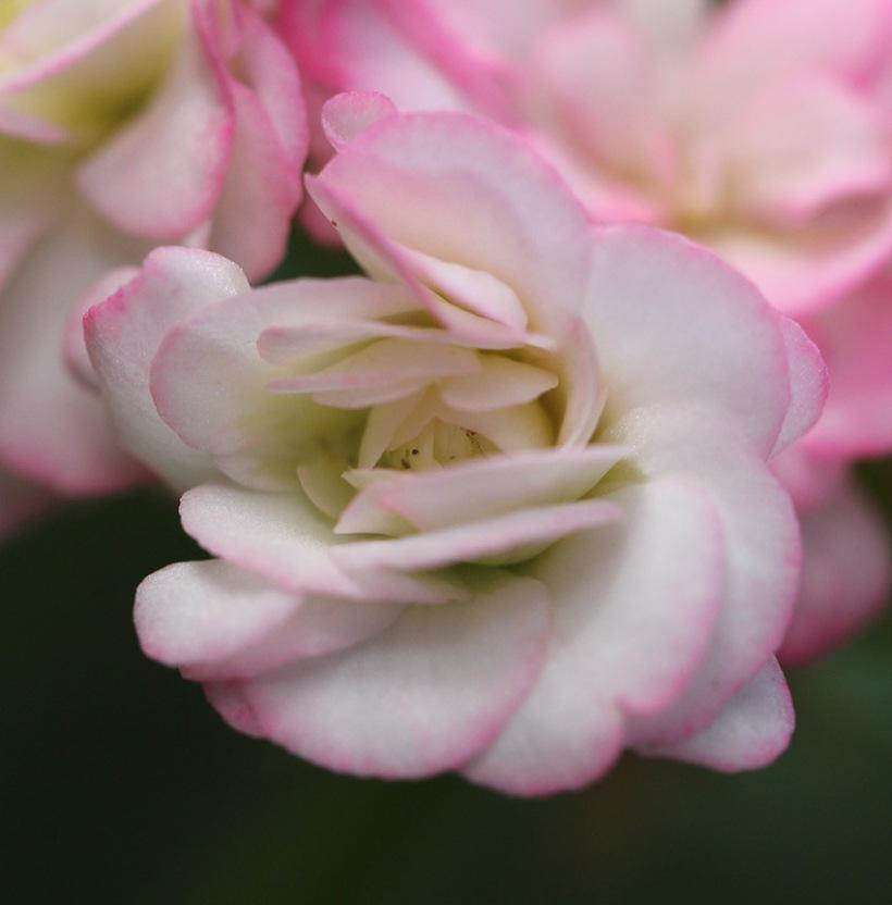 geraniums1-Lilibet Stanley