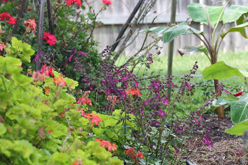 Salvia-Lilibet Stanley